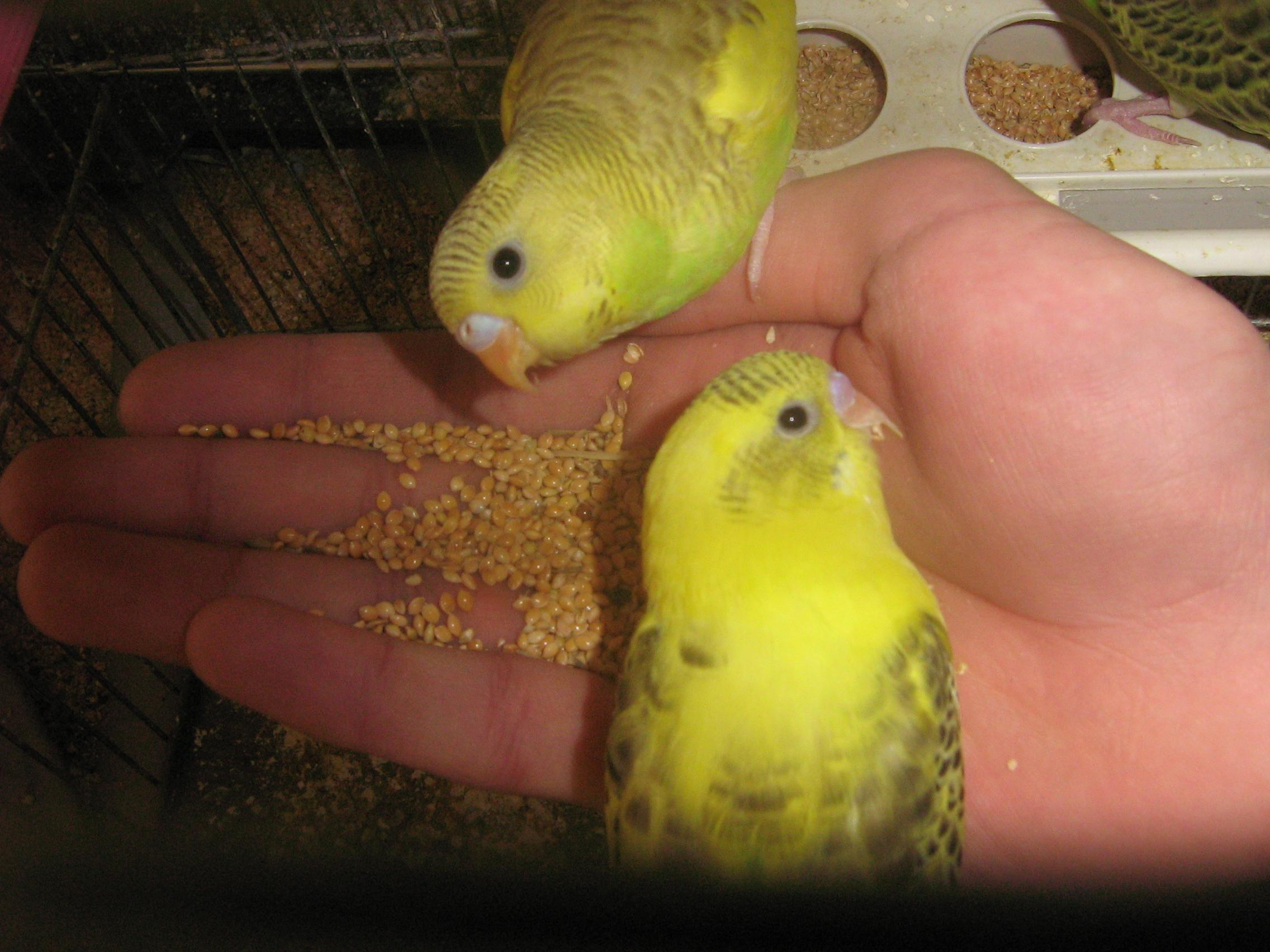 چسب پرنده پرنده ای به نام مرغ عشق